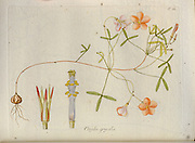 Slender Woodsorrel (Oxalis gracilis). Illustration from 'Oxalis Monographia iconibus illustrata' by Nikolaus Joseph Jacquin (1797-1798). published 1794