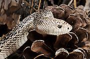 Florida Pine Snake (Pituophis melanouecus mugitus) CAPTIVE<br /> The Orianne Indigo Snake Preserve<br /> Telfair County. Georgia<br /> USA<br /> HABITAT & RANGE: Pine-oak woodlands, longleaf pine forests and sandhills of Florida, Alabama, Georgia and South Carolina.<br /> IUCN STATUS: Special Concern