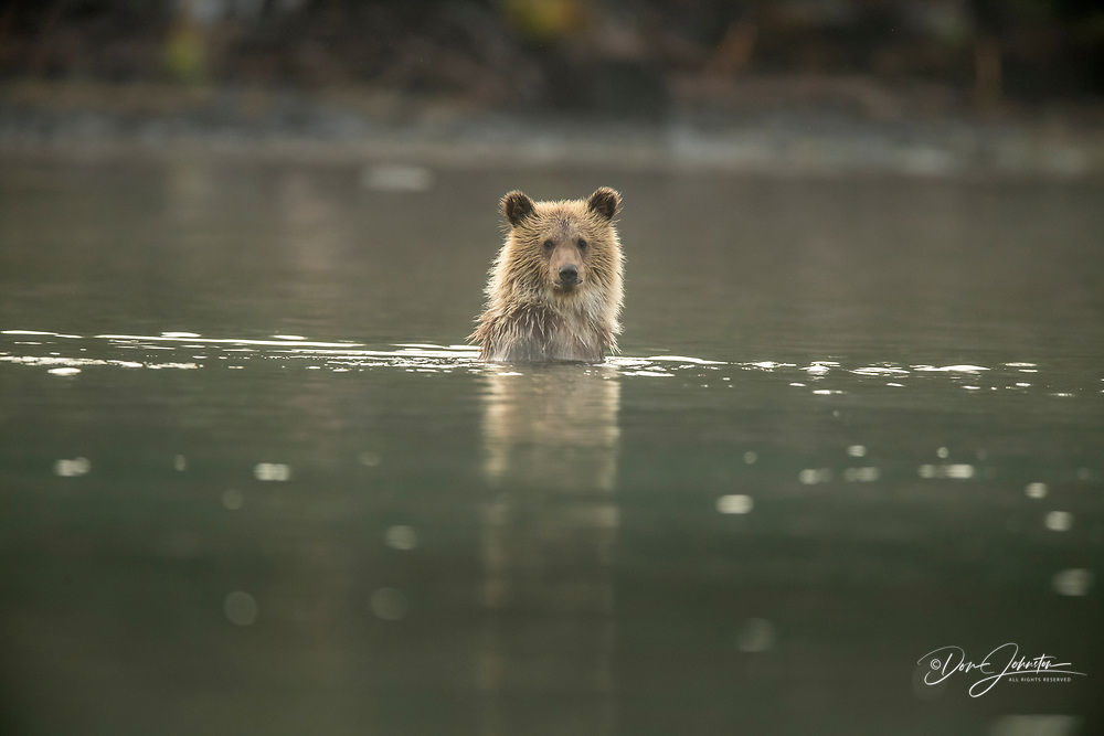 Grizzly bear (Ursus arctos)- First-year cub following mother as she hunts for spawning salmon in the Chilko River, Chilcotin Wilderness, BC Interior, Canada