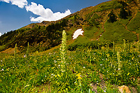 Century plants and other wildflowers, Emerald Lake, near Crested Butte, Colorado USA