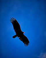 Turkey vulture soaring in the late afternoon sun. Winter nature in New Jersey. Image taken with a Nikon Df camera and 70-200 mm f/2.8 lens (ISO 400, 200 mm, f/2.8, 1/2000 sec).