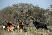 Zambian / Matetsi Sable<br /> Exotic Game Breeders / Eden Farm<br /> Limpopo Province<br /> South Africa
