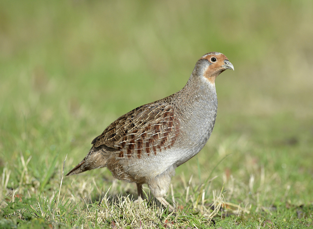 Grey Partridge - Perdix perdix - female. L 29-31cm. Well-marked gamebird. Usually seen in small parties. Hunted and consequently wary; prefers to run from danger. Sexes are separable with care. Adult male has mainly grey, finely marked plumage with orange-buff face, large chestnut mark on belly, maroon stripes on flanks and streaked back. Adult female is similar but marking on belly is small. Juvenile is grey-buff with hint of adult's dark markings. Voice Utters a choked, harsh kierr-ikk call. Status Native of grassland and arable farmland with mature hedgerows. Once abundant, now scarce due to modern farming methods. Observation tips Easiest to see in winter.