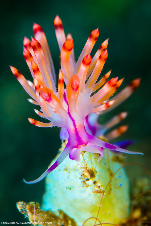 A redline flabellina (Flabellina rubrolineata) strikes a pose. Taken in the Lembeh Straits, Sulawesi, Indonesia.
