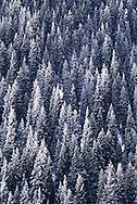 A forest of Tien Shan Firs stands tall in the Zailiisky Alatau mountain spur near Almaty, Kazakhstan