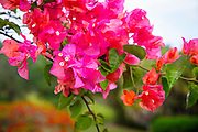 Bouganvilla flower, Olu Pua Gardens, Kalaheo, Kauai, Hawaii