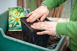 Planting up dahlia tubers in pots in spring