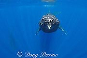 female humpback whale, Megaptera novaeangliae, swimming toward camera while male escort in background dives, Maui, Hawaii, Hawaii Humpback Whale National Marine Sanctuary, USA ( Central Pacific Ocean )