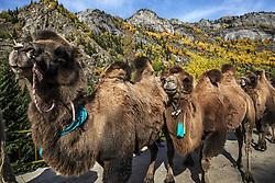 October 10, 2018 - Aletai, China - Herdsmen pasture sheep and cattle in Aletai, northwest China's Xinjiang Uygur Autonomous Region. (Credit Image: © SIPA Asia via ZUMA Wire)