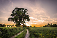 Sun setting over fields in the English countryside with a rural lane and oak tree