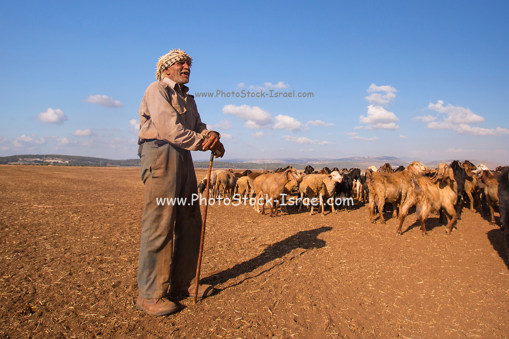 Mature Bedouin shepherd with his herd of sheep. Photographed in the Negev Desert, Israel