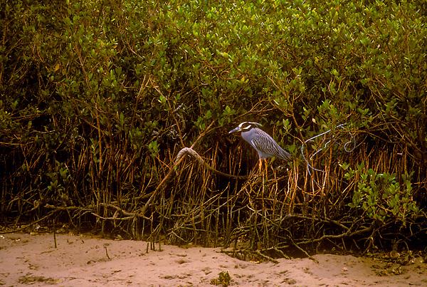 Black Crown Night Heron in a Mangrove