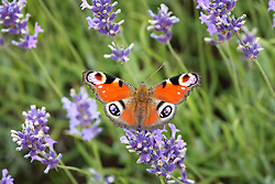 © Licensed to London News Pictures. 23/07/2014. Summerdown Farm, Hampshire, UK. A peacock butterfly sitting on Lavender flowers in bloom on Summerdown farm near Malshanger in Hampshire. The lavender will be harvested and distilled into lavender oil. Photo credit : Rob Arnold/LNP