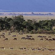 Kenya, Africa. Zebras, Topies and Thomson's Gazelles grazing. Serengeti Plains. Masai Mara Game Reserve.