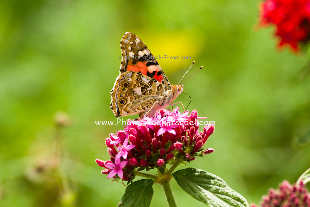 Painted Lady (Vanessa cardui) This butterfly is found in Europe, northern Africa, and western Asia. Photographed in Israel, Winter November