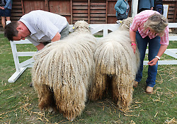 © Licensed to London News Pictures. <br /> 08/07/2014. <br /> <br /> Harrogate, United Kingdom<br /> <br /> Sheep are brushed prior to their heat on the first day of the Great Yorkshire Show. The show is England's Premier Agricultural Event and is based on the 250-acre Great Yorkshire Showground near Harrogate. The Main Ring is the hub of the Show providing a setting for international show jumping and world class cattle parade. The showground is filled with animals, country demonstrations, have-a-go activities and rural crafts.<br /> <br /> Photo credit : Ian Forsyth/LNP