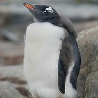A molting Gentoo Penguin chick on Petermann Island, Antarctica.