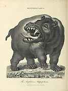 Hippopotamus Copperplate engraving by J. Chapman From the Encyclopaedia Londinensis or, Universal dictionary of arts, sciences, and literature; Volume X;  Edited by Wilkes, John. Published in London in 1811