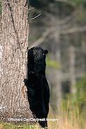 01872-00603 Black Bear (Ursus americanus) female with cub Great Smoky Mountains National Park  TN