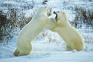 01874-06518 Polar Bears (Ursus maritimus) sparring  Churchill MB