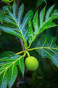 Breadfruit tree, Hanalei, Kauai, Hawaii