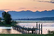 50 Seagulls and 6 Herons.  Birds roosting on the pilings of an old dock during sunset at Blackie Spit in Crescent Beach, British Columbia, Canada. City of Burnaby (Metrotown) and the North Shore mountains are in the background.