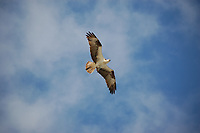 An osprey in flight over Everglades National Park.