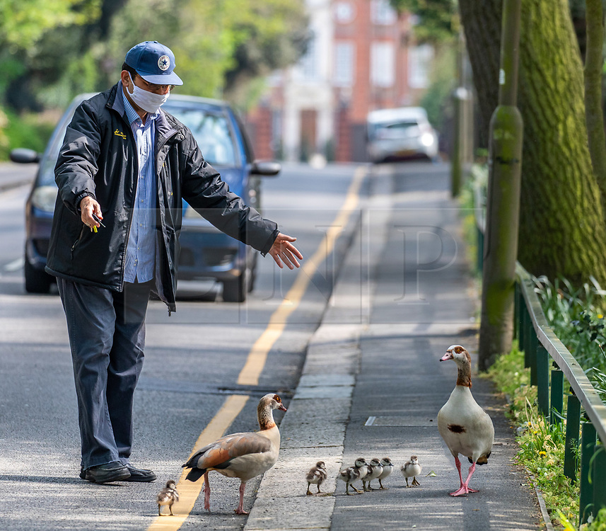 © Licensed to London News Pictures. 10/04/2020. London, UK. A man in a mask tries to coax a family of geese away from the road. A family of Egyptian geese including six chicks caused a bit of a stir in Wandsworth in South London, as they went on a Easter Sunday walk. But their derring escape from nearby Richmond Park, possibly breaking lockdown rules was unfortunately foiled by passers-by who tried to help them return to the park and away from the main roads. Photo credit: Alex Lentati/LNP