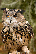 Captive long-eared  owl (Asio otus) with jesses hidden in woodland setting, Delamere Forest, Cheshire, England