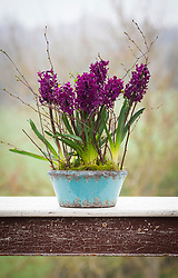 Hyacinthus orientalis 'Woodstock' in a blue ceramic bowl