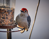 Red-bellied Woodpecker at the feeder. Image taken with a Nikon D5 camera and 600 mm f/4 VR telephoto lens (ISO 1400, 600 mm, f/4, 1/640 sec)