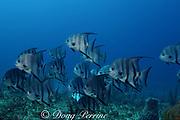 Atlantic spadefish, Chaetodipterus faber, Matanilla Shoal, Little Bahama Bank, Bahamas ( Western Atlantic Ocean )