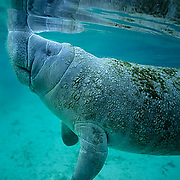 West Indian Manatee, (Trichechus manatus) calf surfacing for air in freshwater spring. Florida.