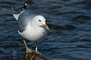 This Common Gull has a ring which tells us it was ringed in 1985 in Akureyri, Iceland. It is therefore 27 year old which makes it the oldest Mew Gull in Iceland. The oldest ringed one in Europe is 33,8 years old (2012).