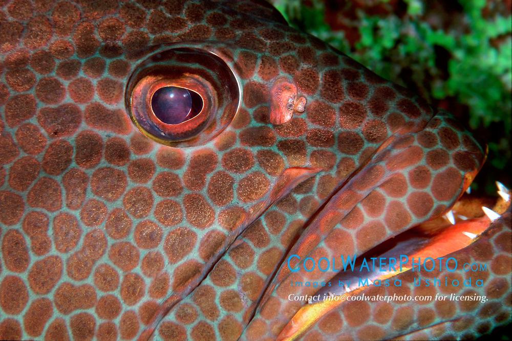 tiger grouper, Mycteroperca tigris, Sergeant Major Reef, Cayman Brac, Caribbean Sea, Atlantic Ocean