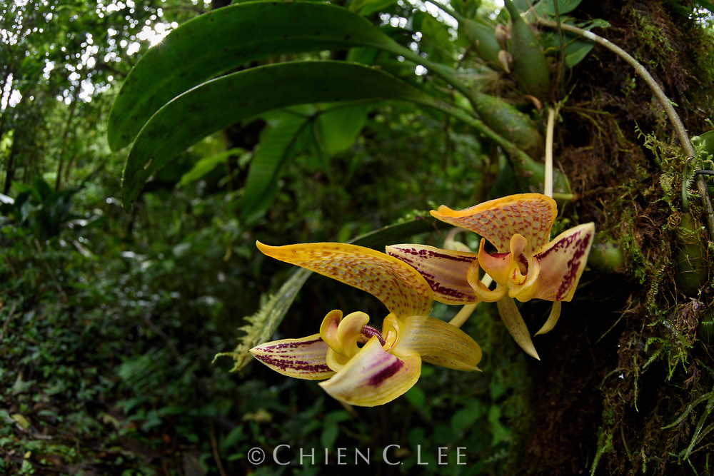 Large blooms of the orchid Bulbophyllum dearei, photographed in its natural habitat in the montane forests of Sayap, northern Mt. Kinabalu, Borneo.