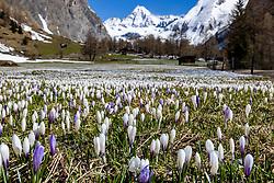 HEMENBILD - Alljährlich im Frühjahr blühen auf den Almwiesen im Kalser Ködnitztal, am Fusse des Grossglockners ein Meer an Krokussen. Aufgenommen am Sonntag, 3. Mai 2020 in Kals // Every year in spring, a sea of crocuses bloom on the alpine meadows at the foot of the Grossglockner Mountain. Pictured on Sunday, May 3rd, 2020 in Kals, Austria. EXPA Pictures © 2020, PhotoCredit: EXPA/ Johann Groder