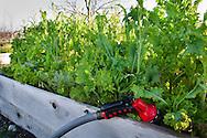Organic Herb Garden, Thomas Hill Farms, Paso Robles, San Luis Obispo County, California