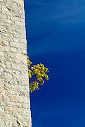 Small tree or bush growing out of side of Revelin Tower. Korcula old town, island of Korcula, Croatia