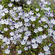 Five-Spot,Nemophila maculata