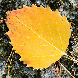An autumn aspen leaf in Dunstable Massachusetts USA