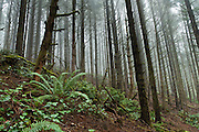 Drive to Indian Sands along Samuel H. Boardman State Scenic Corridor on US Route 101 and walk the Oregon Coast Trail to see the Pacific Ocean crashing on cliffs, Curry County, Oregon, USA.