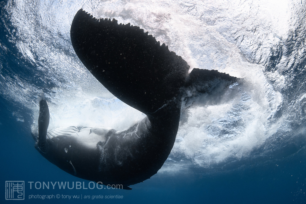 This is the view from beneath a male humpback whale calf (Megaptera novaeangliae) playing at the ocean surface. The calf had just lifted its caudal region out of the water, then flipped over so that his belly was facing upward while he spun his body around. This had the effect of whipping his fluke in a circle, leaving a wake of bubbles, froth and whitewater as seen here. This type of play behavior is typical among healthy humpback whale calves.