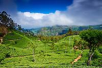 Sri Lanka, province de l'Uva, Haputale, Lipton's Seat, plantations de thé // Sri Lanka, Ceylon, Central Province, Haputale, tea plantation in the Highlands, Lipton's seat