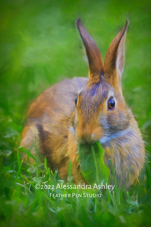 Eastern cottontail wild rabbit eating grass and greens. Original photograph blended with painted effects.