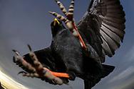 Alpendohlen (Pyrrhocorax graculus) unterhalb des Gemsmättli (2054) in der Pilatuskette an einem bewölkten Frühherbstabend. Die Alpendohle (Pyrrhocorax graculus), auch Berg- oder Jochdohle genannt, ist eine Vogelart aus der Familie der Rabenvögel (Corvidae). Sie ist näher mit der Alpenkrähe (Pyrrhocorax pyrrhocorax) als mit der Dohle (Corvus monedula) verwandt. Sie ist ein Brutvogel der Hochgebirge der südlichen Palearktis und kommt in Mitteleuropa gewöhnlich zwischen 1500 und 3900 Metern Höhe vor. Im Winter ist sie tagsüber ein ständiger Gast in Städten und Dörfern am Fuß der Alpen.
