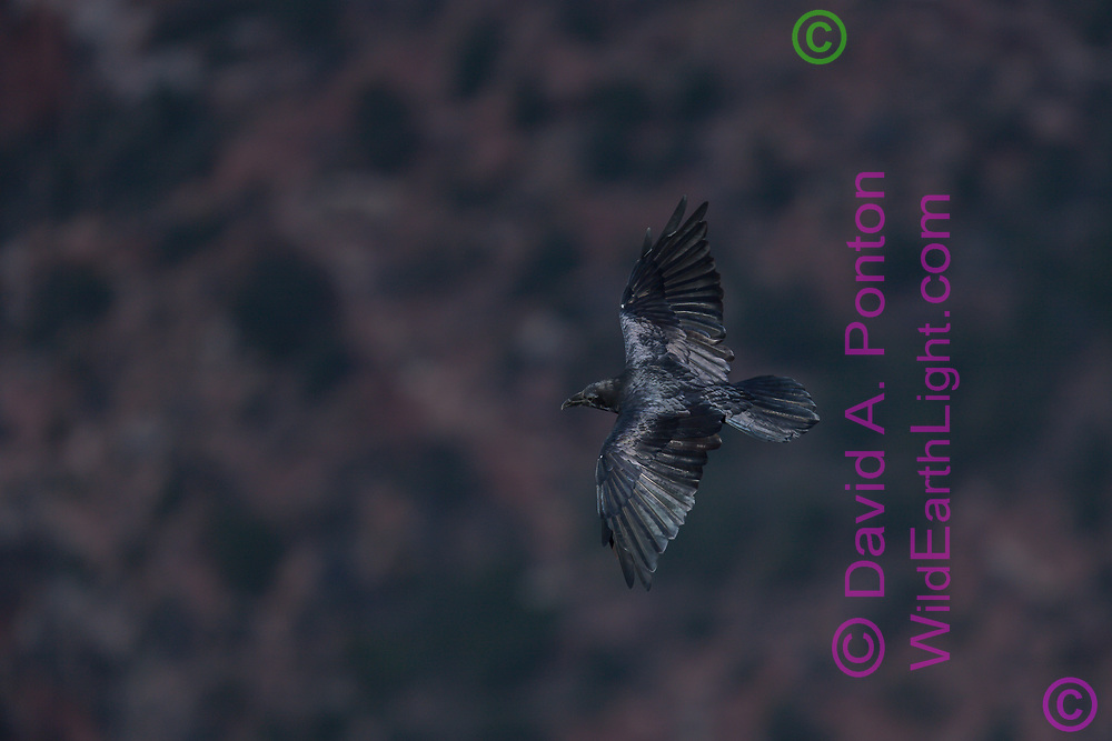 Raven in flight over the grand canyon, glossy feathers, high altitude, © David A. Ponton