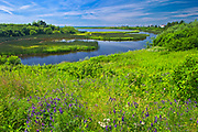 Wildflowers on the coast<br />West Cape<br />Prince Edward Island<br />Canada