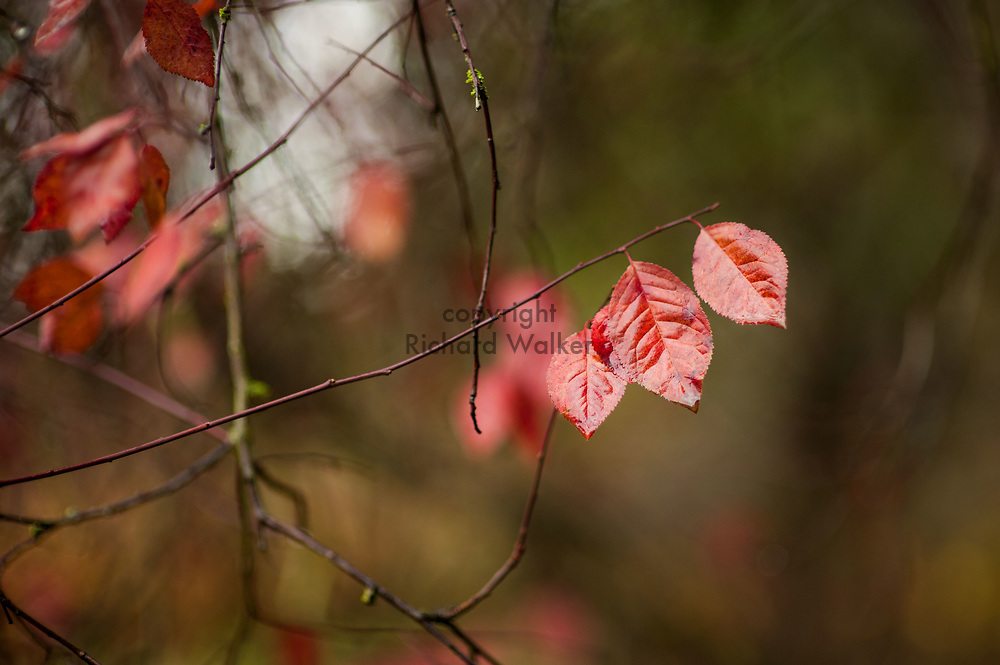 2017 NOVEMBER 20 - Autumn leaves at Lincoln Park in West Seattle, WA, USA. By Richard Walker