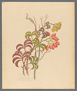 Cisfus Nov. Sp. [Cyphostemma quinatum] (1817) from a collection of ' Drawings of plants collected at Cape Town ' by Clemenz Heinrich, Wehdemann, 1762-1835 Collected and drawn in the Cape Colony, South Africa